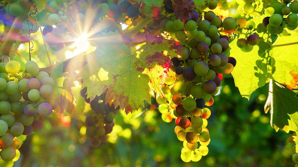 Сбор винограда откладывается