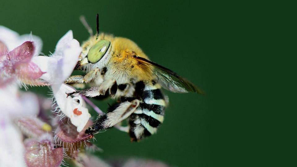 пчелы выбивают пыльцу из цветов головой