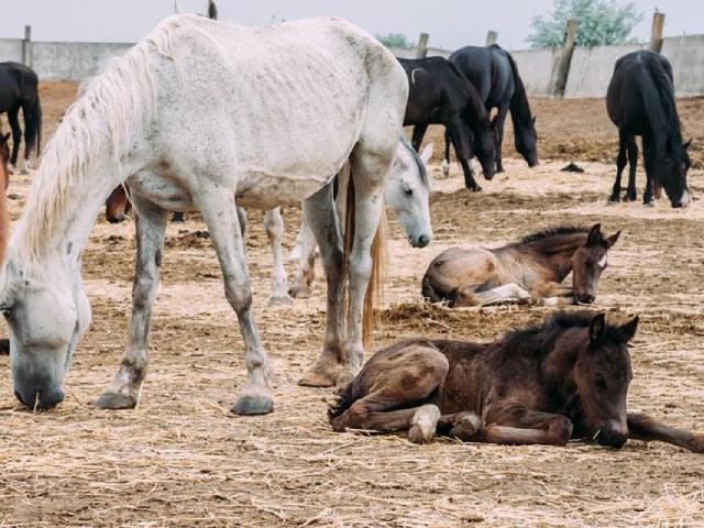 ферма по выращиванию племенных лошадей в Молдове