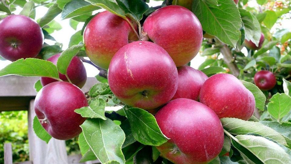 В Молдове выкорчевывают яблони ранних сортов