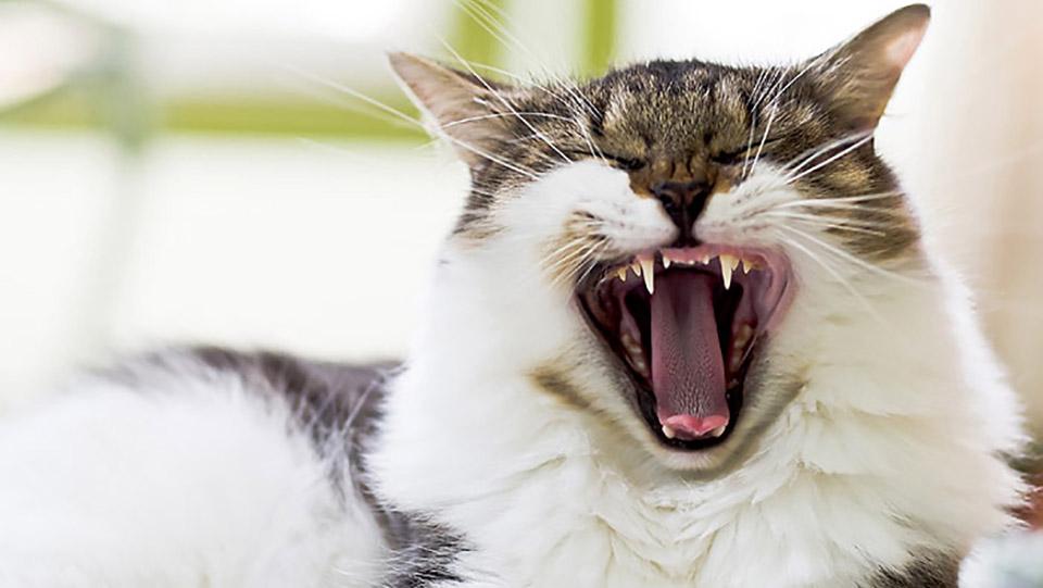 Кошки. Консистенция пищи никак не влияет на здоровье зубов.