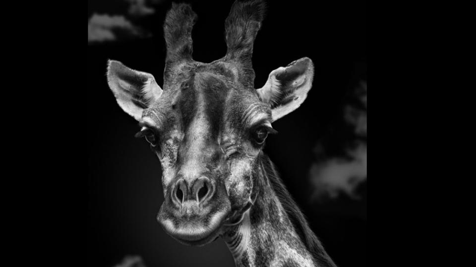 фотопортреты животных Московского зоопарка, жираф
