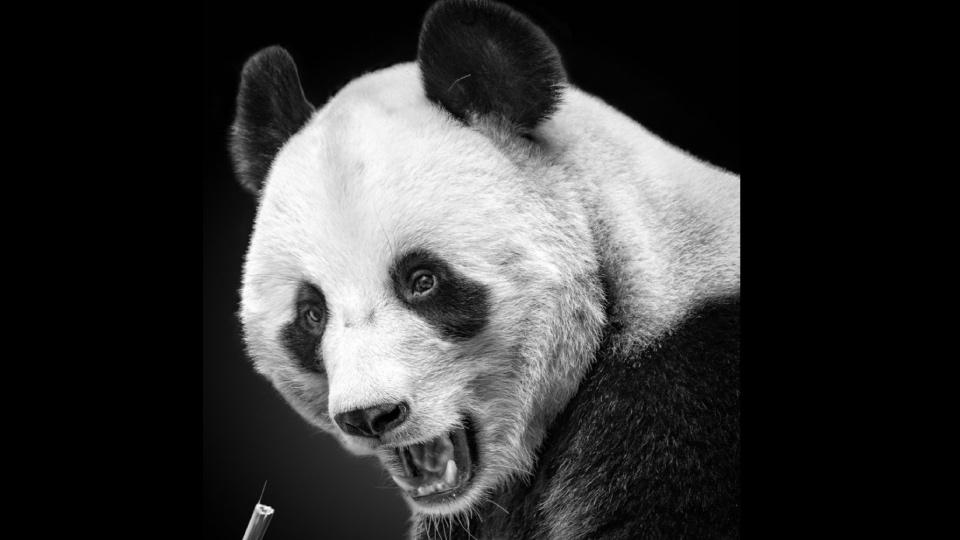 фотопортреты животных Московского зоопарка, панда
