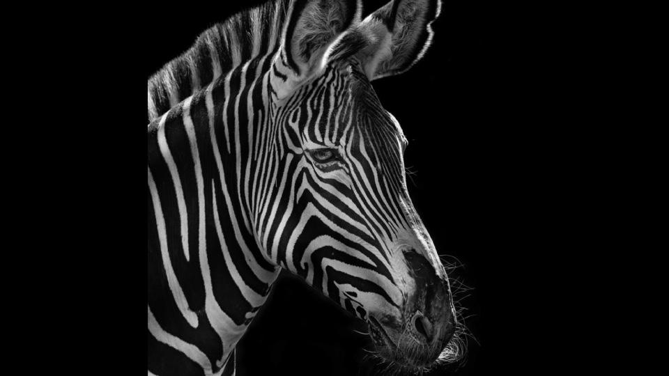 фотопортреты животных Московского зоопарка, зебра