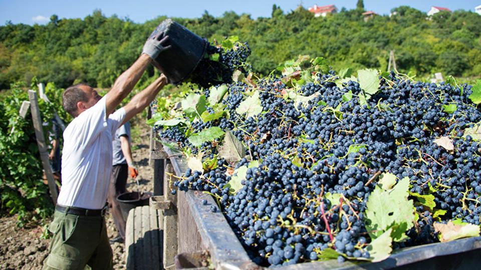 Сколько платят за сбор винограда в Молдове?