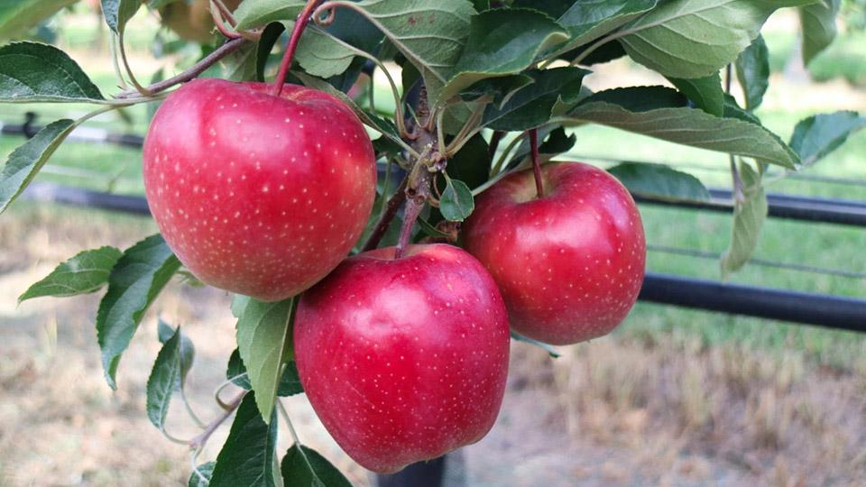Яблок поздних сортов мало