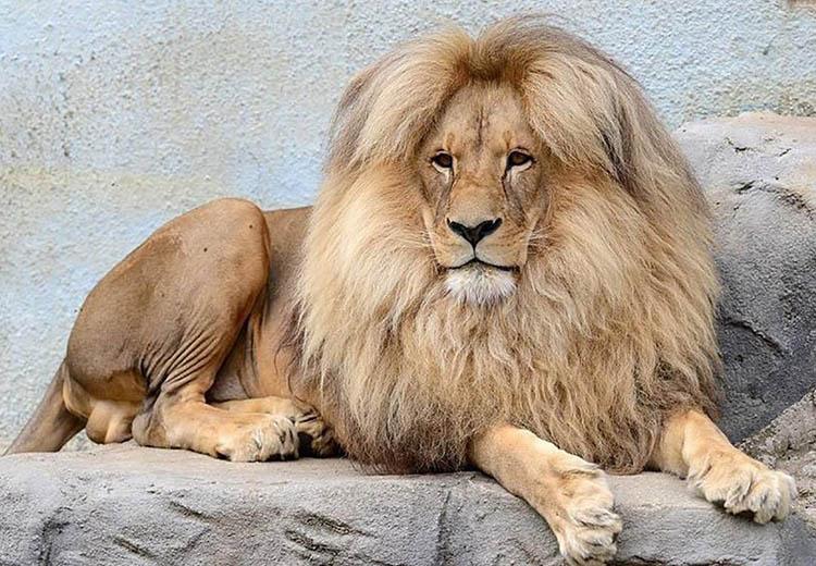 фото дня, лев