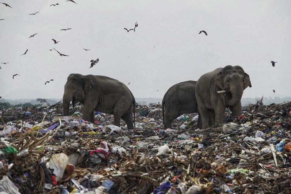 На Шри-Ланке слоны едят мусор
