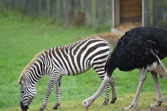 В Великобритании страус по кличке Блю решил, что он зебра и ушел из семьи
