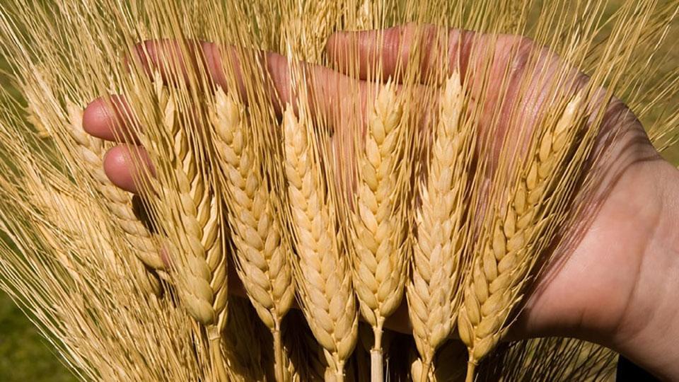 В Бельцах пытаются вывести засухоустойчивые сорта пшеницы