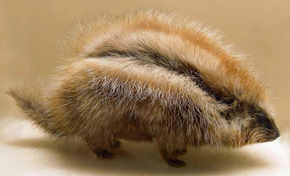 В Африке живут косматые хомяки с ядовитой шерстью