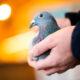 В Бельгии продали голубя за 1,6 млн евро