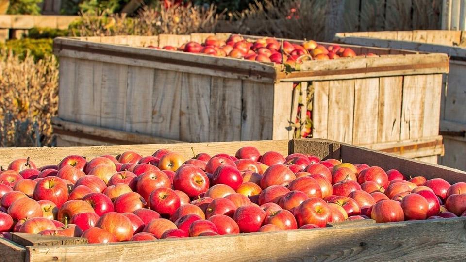 Объем переработки яблок в Молдове сократится почти вдвое