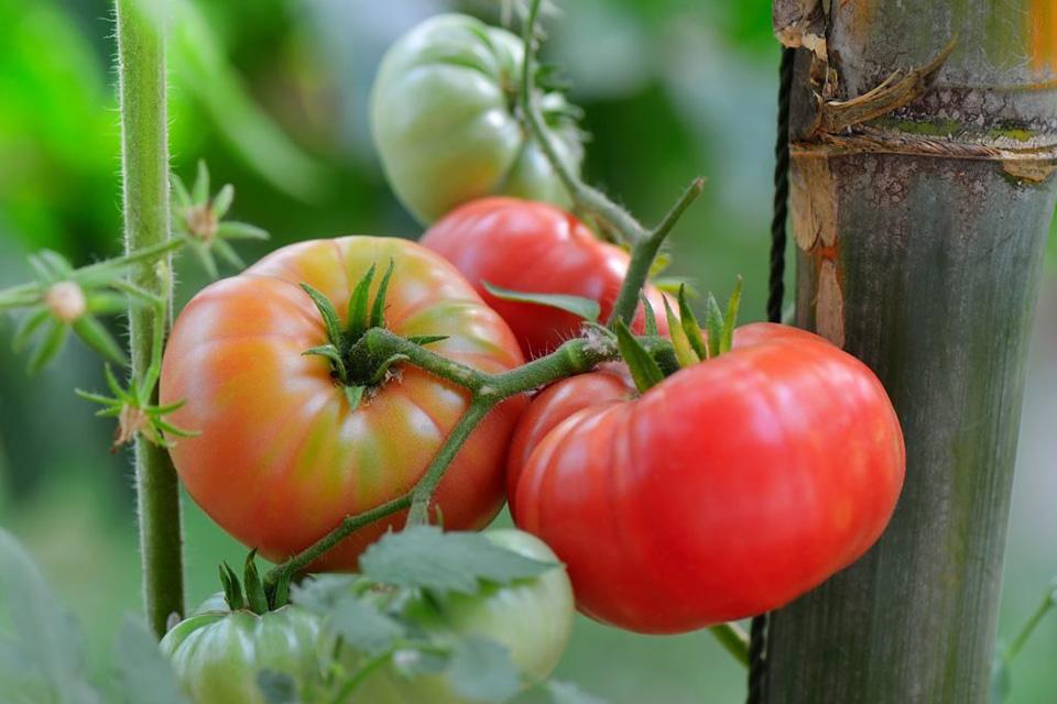 Японцы вывели сорт томатов, снижающий давление