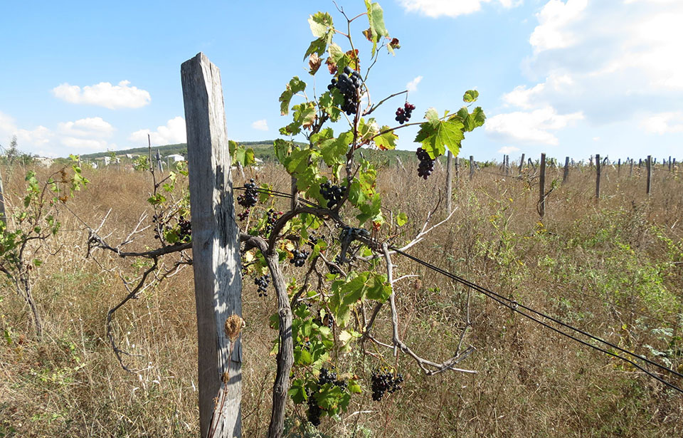 Почти четверть виноградников в Молдове – заброшены
