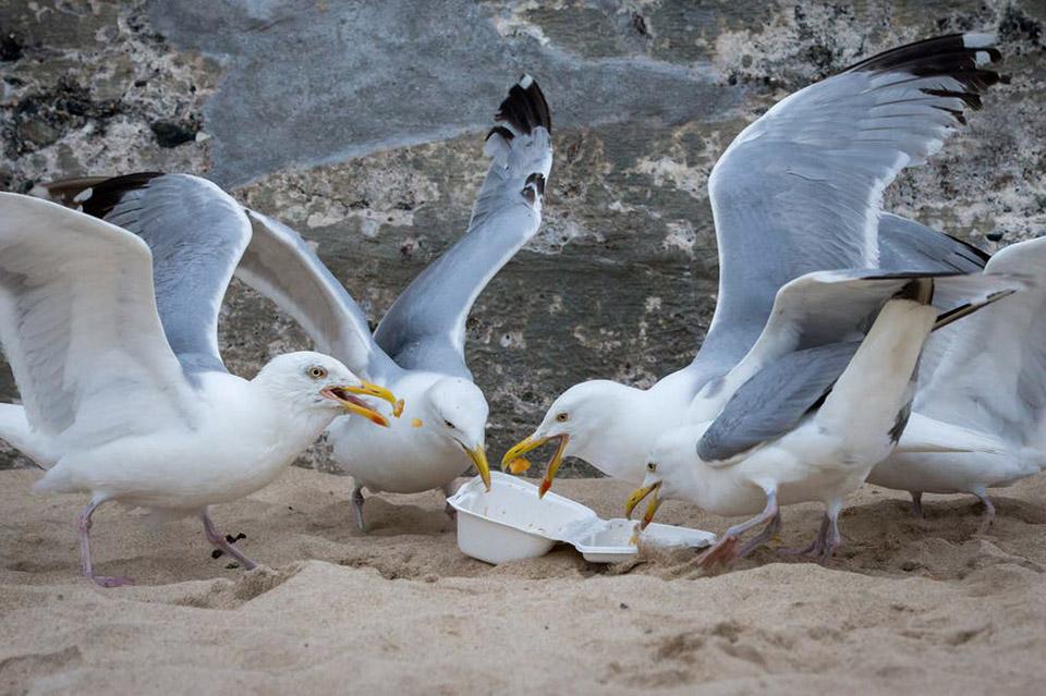 Чайки в Бахрейне пристрастились к фастфуду