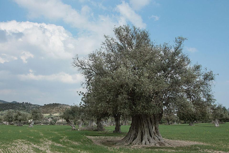 Производители оливкового масла рубят вековые деревья на дрова